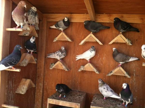 Silverdale Pigeons For Sale Auckland Classifieds Ads, Silverdale